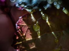 Oblique Lighting (Don White (Burnaby)) Tags: centralpark extensiontube flowersplants heuchera macro nikon50mm18d bokeh