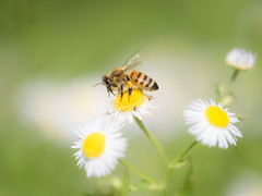 Working Bee (giansacca) Tags: fiori flowers fleurs fioritura insetti insects ape bee