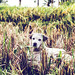 Portrait of cute balinese street dog in the rice fields. Tropical island of Bali, Indonesia.