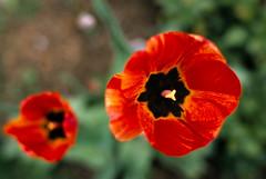 Two Tulips (johnlishamer.com) Tags: slidefilm flowers home nikkor35mmf14ais 35mm film fujiprovia100f slr e6 bataviaillinois tulips nikonf3 lishamer family 2019 springtime johnlishamercom