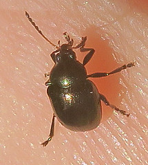 Unidentified Leaf Beetle, Washington Crossing (Seth Ausubel) Tags: chrysomelidae coleoptera
