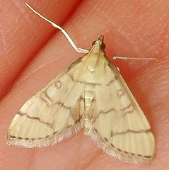 Hollow-spotted Blepharomastix, Blepharomastix ranalis, Cedar Ridge Preserve, Hopewell, NJ (Seth Ausubel) Tags: crambidae moth spilomelinae