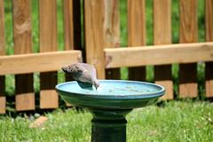Dove dipping (karma (Karen)) Tags: baltimore maryland home backyard birds morningdove birdbath fences dof bokeh hff