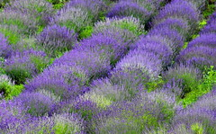 Lvender / Levendula (Ibolya Mester) Tags: