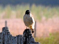 Reposando. HALCÓN PEREGRINO (jagar41_ Juan Antonio) Tags: argentina animales aves ave animal pájaros chimango