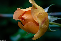 Love is a rose. (jtrainphoto) Tags: rose yard spring macro flowers nature flower garden bloom ef100mm canon red