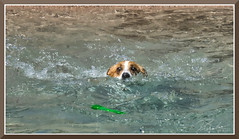 CorgiSwim_1999 (bjarne.winkler) Tags: photo from sacramento corgi pack meetup swim the animal den pet resort
