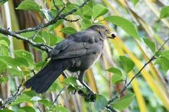 Cherry picking (tanith.watkins) Tags: blackbird gardenbird