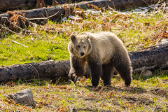 Just strolling along (ChicagoBob46) Tags: grizz grizzly grizzlybear bear sow yellowstone yellowstonenationalpark nature wildlife coth5 naturethroughthelens ngc