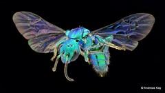 Sweat Bee, Temnosoma sp., Halictidae (Ecuador Megadiverso) Tags: ecuador bee 8mm hymenoptera halictidae focusstack andreaskay temnosomasp