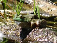 Friday's frog (EcoSnake) Tags: americanbullfrog lithobatescatesbeiana frogs amphibians water wildlife june sunlight idahofishandgame naturecenter