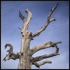 Catalina Hwy #8 2019; Initial Tree (hamsiksa) Tags: trees deadtrees conifers cedars junipers sky islands santacatalinamountains arizona tucson pimacounty botany botanicals coronadonationalforest windypoint plants flora