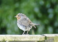 Ragged robin (tanith.watkins) Tags: gardenbird robin