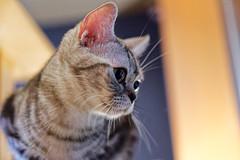 DSC_0175_DxO (neko kabachi) Tags: 猫 cat catcafe 空陸家 広島
