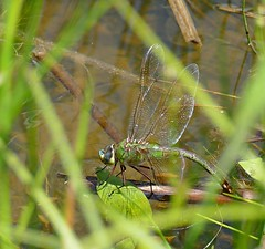 A Common Green Darner Ovipositing (Eat With Your Eyez) Tags: common green darner dragonfly dragonflies oviposit ovipositing laying eggs weeds water pond lake bug insect reproduce reproducing wing wings fly flying beautiful markings eye eyes head body nature outdoors park bokeh panasonic fz1000