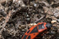 Peeping Tom - _TNY_7912 (Calle Söderberg) Tags: macro canon canon5dmkii canoneos5dmarkii canon5dmarkii 5d2 raynox dcr250 speedlite canon580exii flosdiffusor insect insects ant myra truebug hemiptera eldlus skinnbagge firebug pyrrhocoris apterus heteroptera pentatomomorpha pyrrhocoroidea pyrrhocoridae halvvinge eldskinnbagge canonef100mmf28usmmacro svartmyra svarttuvmyra trädgårdsmyra commonblackant vespoidea formicidae lasiini f22