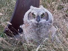 Young GHO (got2snap) Tags: owl young great horned birdofprey bird eyes prairies outdoorssaskatchewannature outdoors country canada canon sx60 wildlife wild