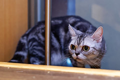 DSC_0167_DxO (neko kabachi) Tags: 猫 cat catcafe 空陸家 広島