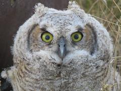 Young GHO (got2snap) Tags: young gho great horned owl bird birdofprey eyes nature country canada canon sx60 outdoorssaskatchewannature outdoors wildlife wild juvenille