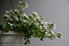 White flowers (Julysha) Tags: flowers balcony summer evening june d850 acr sigma241054art 2019