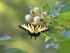 Yellow Swallowtail butterfly on a button bush (adirondack_native) Tags: yellow swallowtail butterfly button bush flower leaves
