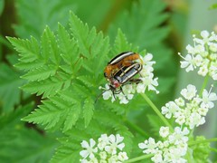 beetles mating (Cheryl Dunlop Molin) Tags: pigweedfleabeetles disonychaglabrata beetles insects matinginsects