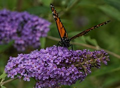 _DSC1495-01 (bighairphotos1) Tags: sony a6000 alpha mirrorless butterfly toronto ontario canada park gardens purple orange black monarch flowers macro close
