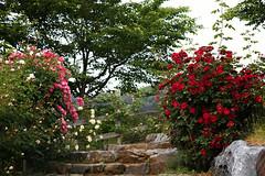 ROSA & BERRY Tawada 16 (lakeside_cat) Tags: rose roses rosaberrytawada englishgarden scenery pathway ootpath trails stairs redflower redrose pinkflower pinkrose ばら バラ 薔薇 赤 ピンク ローザンベリー多和田 イギリス風庭園 イングリッシュガーデン garden 庭園 小道 小径 階段 風景 景色