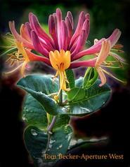 Honeysuckle flower (tbeckeryvr) Tags: flower spring seasonal humming birds colorful floral plant rain drops horticulture garden