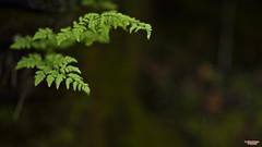 Growth (MBates Foto) Tags: availablelight bokeh botanicals color existinglight fern green horticulture husbandry leaf nationalpark nikkorlens nikon nikonais nikond810 nikonfx outdoors parksandreceation plants glaciernationalpark montana unitedstates