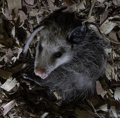 Opossum_SAF3719 (sara97) Tags: animal nocturnal missouri saintlouis marsupial didelphimorphia photobysaraannefinke copyright©2019saraannefinke opossum