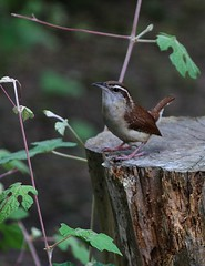 Carolina Wren (Noel C. Hankamer) Tags: songbird wren bird branch avian carolina brown little song nature ornithology wildlife birdwatching feathers perched wild colorful closeup single outdoors thryothorusludovicianus feistyvivaciouslittlebirds raucouslittlebird tinybrownbird carolinawrens songbirds