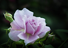 Purple Rose (Roniyo888) Tags: purple violet blue rose rosa rosaceae cultivar hybrid garden climber prickle thorn fragrant petal shrub trailing evergreen desiduous