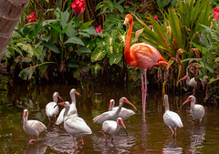 Flamingo stands alone..with a pack of Ibis (Carol Matthai Photography) Tags: woodduck flamingo ibis wildlife lake pond peacock feathers alligator duckweed