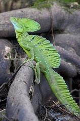 Jesus Christ Lizard (Michael Burke Images) Tags: spring tortuguero jesuschrist lizard costarica