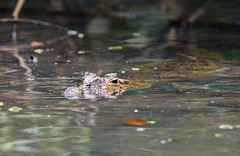 Submerged Caiman (Michael Burke Images) Tags: caiman tortuguero spring costarica