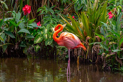 Flamingo stands alone (Carol Matthai Photography) Tags: woodduck flamingo ibis wildlife lake pond peacock feathers alligator duckweed