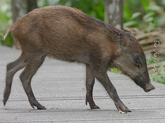 20190322-_SNG5892 (shirl6900) Tags: susscrofa wildboar