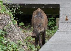 20190322-_SNG5870 (shirl6900) Tags: susscrofa wildboar