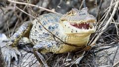 Caiman (Michael Burke Images) Tags: caiman tortuguero spring costarica