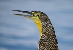 Bare-Throated Tiger Heron (Michael Burke Images) Tags: barethroatedtigerheron bird tortuguero costarica