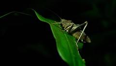 Grasshopper at Night (Michael Burke Images) Tags: grasshopper night spring tortuguero costarica