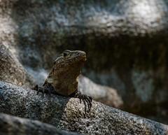 Black Iguana (Michael Burke Images) Tags: manuelantonio spring iguana quepos costarica