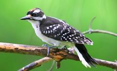 hairy woodpecker juvenile male at Lake Meyer Park IA 653A8694 (naturalist@winneshiekwild.com) Tags: hairy woodpecker juvenile male lake meyer park winneshiek county iowa larry reis