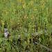 Lysimachia Grams Wetland