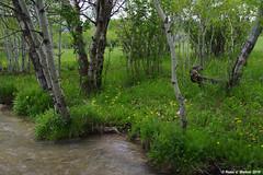 Creek and Aspens (walkerross42) Tags: bennington idaho creek stream aspen trees grove field hayfield farm flowers wildflowers dandelions rural