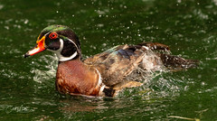 Wood duck  after the splash (Carol Matthai Photography) Tags: woodduck flamingo ibis wildlife lake pond peacock feathers alligator duckweed