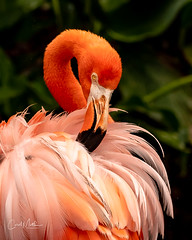 Flamingo in a seductive stance (Carol Matthai Photography) Tags: woodduck flamingo ibis wildlife lake pond peacock feathers alligator duckweed