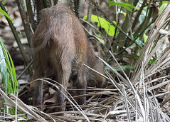 20190322-_SNG5904 (shirl6900) Tags: susscrofa wildboar