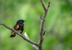 Breeding Redstart (rmikulec) Tags: birding nature animal birds bird wild wildlife american redstart male sony images sonyimages a7riii